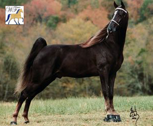 tennessee walking horse wgc Does anyone know of any web sites with any advice on padded training walking, racking  wgc evans farms  the care and training of the tennessee walking horse.